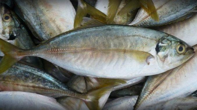 Wah!.. Ikan Kembung Sebenarnya Lebih Berkhasiat Daripada Salmon - Kartel  Dakwah